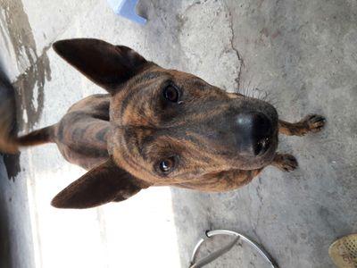 Chó Phú quốc đực giống 15 tháng tuổi 18 kg