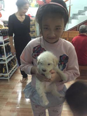Chó poodle 2 tháng tuổi màu trắng và màu mơ
