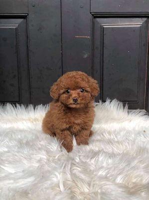 Cún con poodle nâu đỏ .