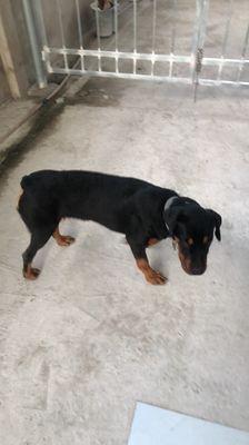 Chó rottweiler cái 7 tháng tuổi tiêm 3 mũi 7 bệnh