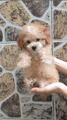 Chó Poodle 2 tháng tuổi