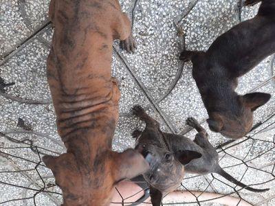 Chó Phú Quốc Vện Hổ Tại Đứng Chân Màng Đuôi Cung