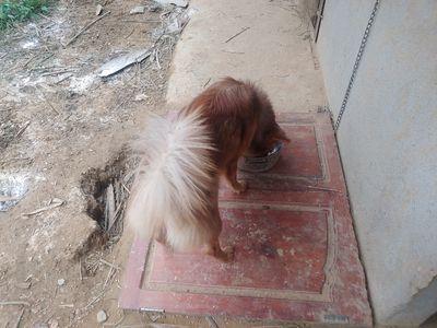 Chó Bắc Hà Cái Vàng Nâu 7 tháng
