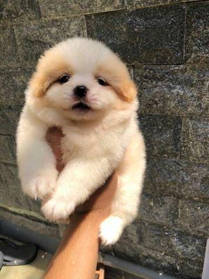 Chó fox sóc mini nhà nuôi đẻ