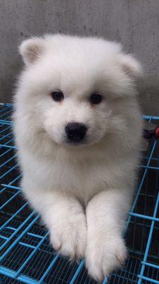 Chó Samoyed thuần chủng đàn 60 ngày