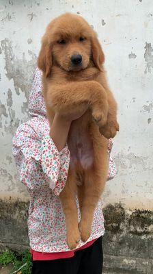 Chó Golden vàng bò 2 tháng tuổi thuần chủng