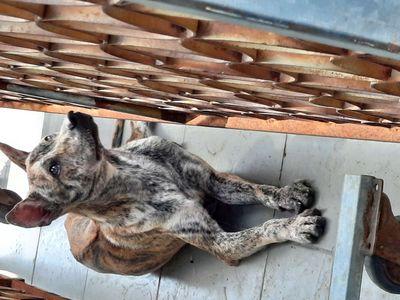 Chó Phú Quốc Đực. 2 Con