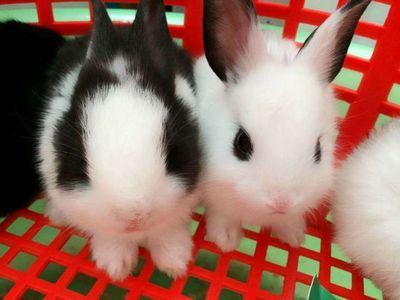 Thỏ Kiểng Mini - Mua Thỏ ghé Đảo Thỏ nhé