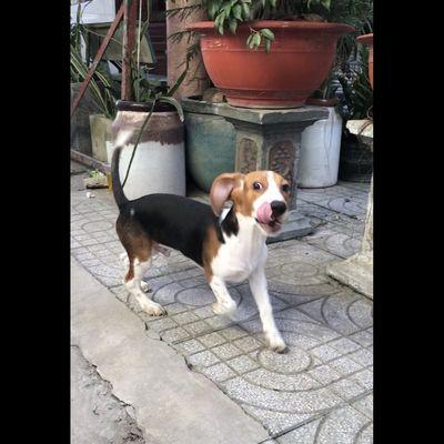 Chó Beagle 4 tháng tuổi Hóc Môn