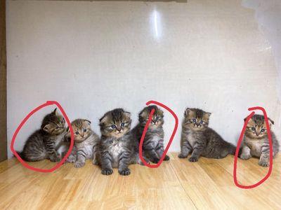 Mèo Anh lông dài và lông ngắn