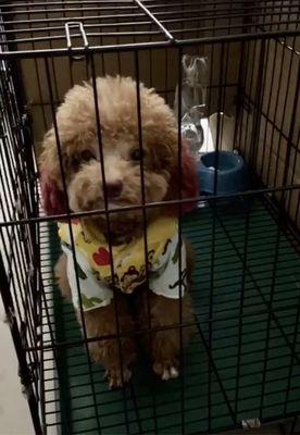 Chia lại bé Poodle nâu đỏ 1 tuổi khôn ngoan!!