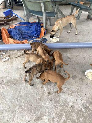 Chó Phú Quốc 1,5 tháng. Vện, phèn, đực cái có đủ