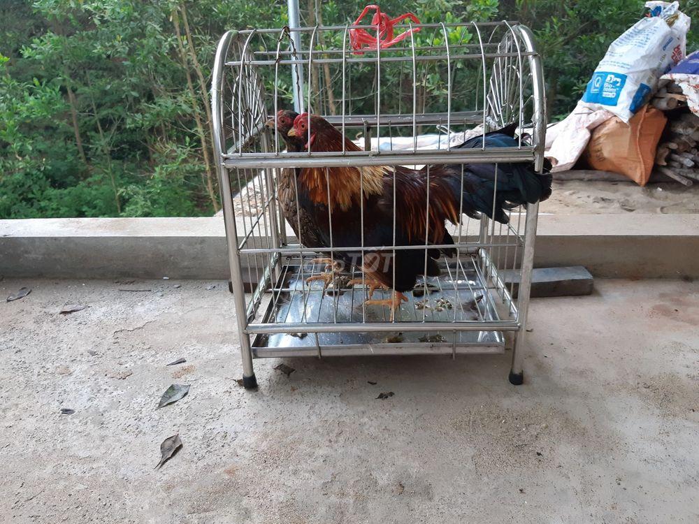 1 đôi gà tre đã đẻ, 10 tháng tuổi 0,9kg/1 con.