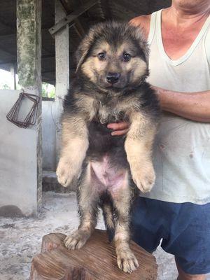 Chó becgie lông xù 70 ngày tuổi đẹp xuất sắc