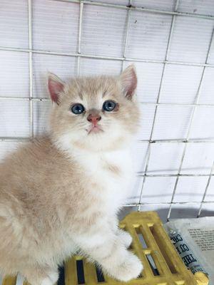 Mèo con anh ba tư x lông ngắn 2 tháng tuổi