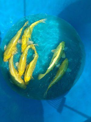Cá koi f1 vàng yamabuki và matsuba 35-40cm