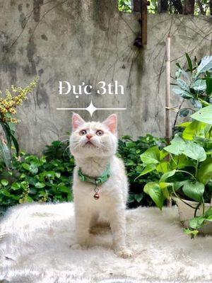 Mèo Anh Lông Ngắn 3 tháng tuổi