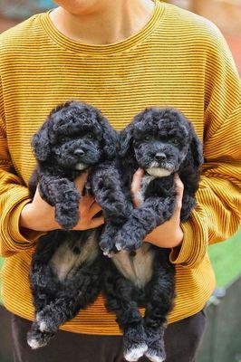 Poodle đen chó nhà nuôi đẻ