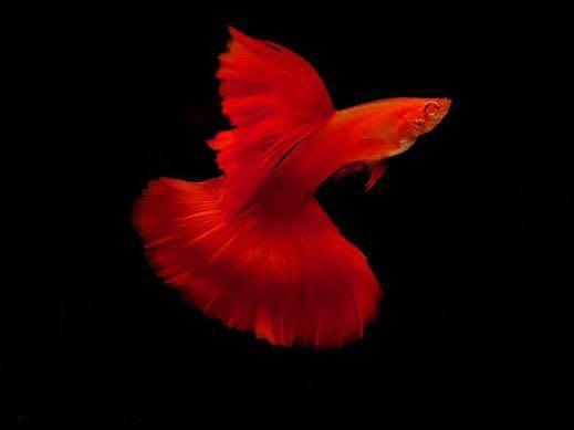 Ca7mau net - Ngôi nhà đam mê cá bảy màu
