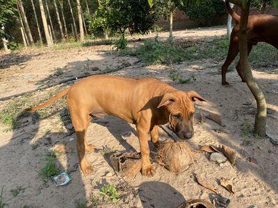 Chó Xoáy Thái Thuần Chủng Cam Bò