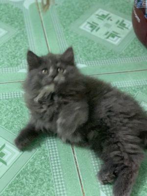 Mèo anh lông dài , gần ba tháng tuổi