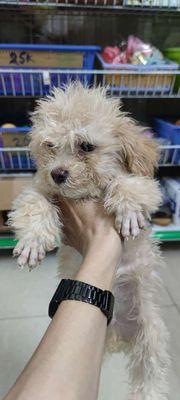 Chó poodle đực màu vàng mơ. Sổ tiêm chủng đầy đủ.