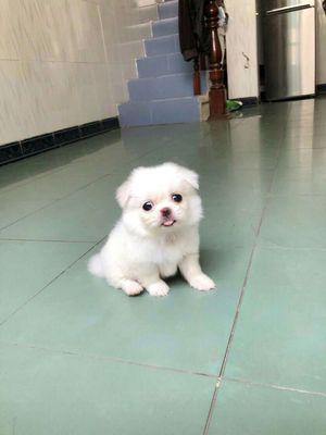 Chó pom xù tại  nhà nuôi  đẻ,mini