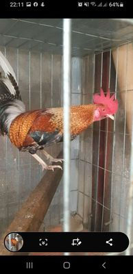 Cú lửa trạg 1,3kg,gà được 7 thág bổn sài cựa giỏi