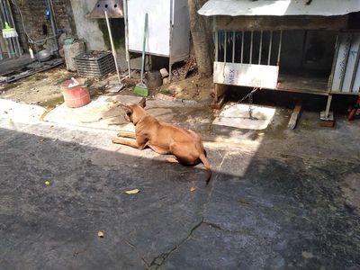 Xắp xây nhà chuyển chủ cho chó Phú Quốc