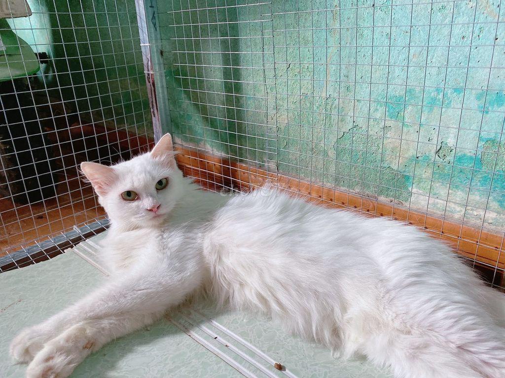 0935304916 - 2 em mèo anh lông dài cái 12 tháng