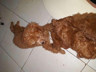 Giống chó poodle nâu đỏ