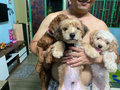 Cần tìm nhà mới cho 2 bé poodle lai Nhật 5 tháng