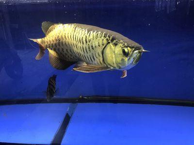 Cá rông .nuôi 2nam.bán hồ và cá