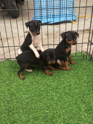 Chó phốc chuẩn size mini 2 tháng