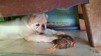 chó pug trắng 5 tháng tuổi