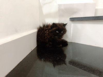 Bé mèo đen mun mặt bự( có ship xa)