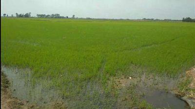 Đất Ruộng 10 công 105x95 Tân Thành B, Tân Hồng