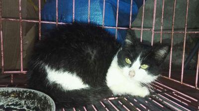 Mèo tuxedo, hơn 3 tháng tuổi, giống cái