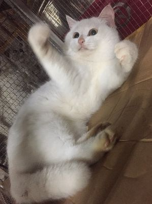 Mèo anh lông ngắn bầu với a đực chân lùn munchkin
