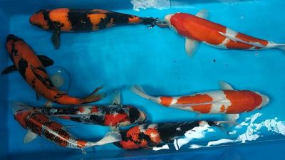 Cá Koi Nhật màu sắc, hoạ tiết siêu nét 40-52cm.