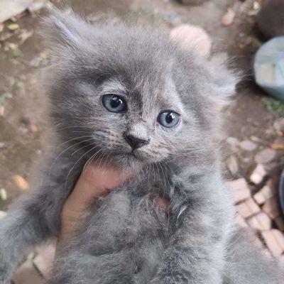 Bán mèo long xù đáng yêu giá rẻ