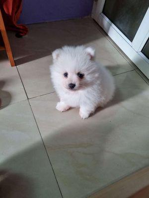 Chó Phốc sóc màu trắng