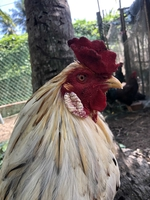 Trại gà siêu mỹ