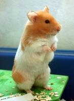 Bán Hamster bình dương