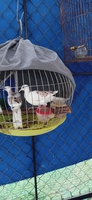 chim cu gáy