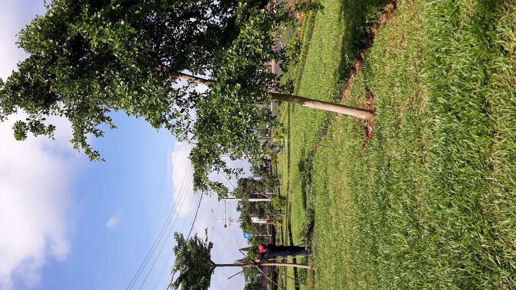 .. bàng Thái..cây Sấu..cỏ trồng