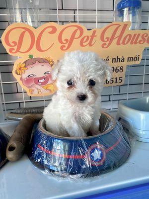 Poodle size tini mix teacup nhỏ xíu
