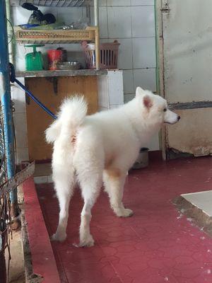 Chó samoyed giới tín đực