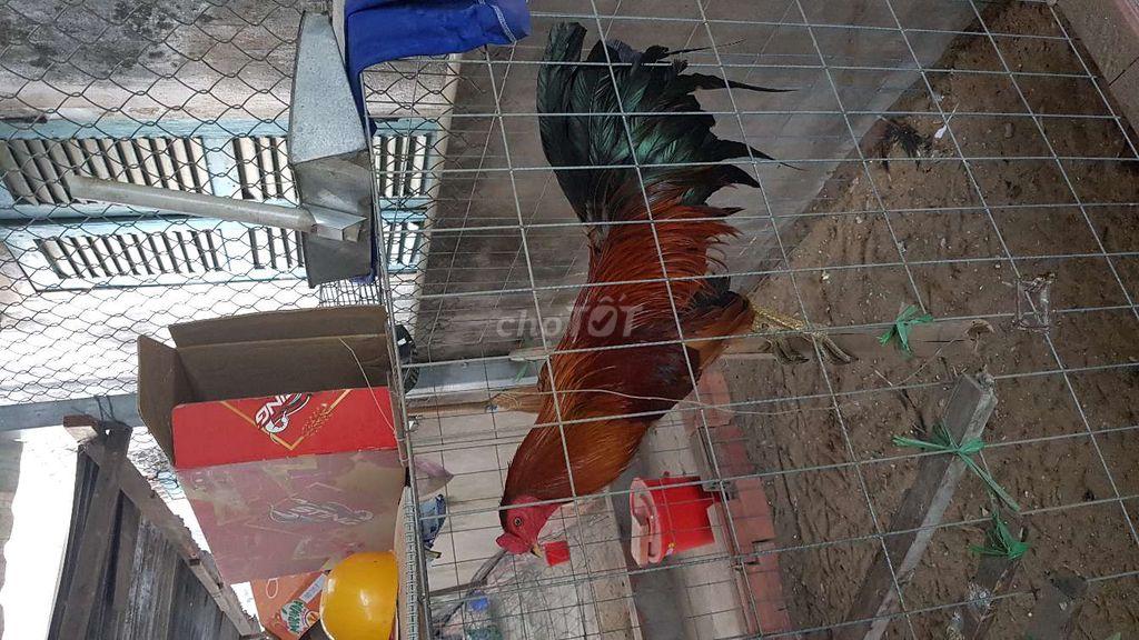 Bán gà phèn chân xanh2.5kg