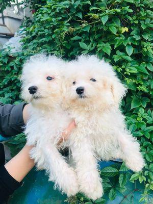 Chó poodle đực trắng 2 tháng tuổi